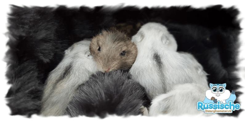 Russische dwerghamster jongen nestje