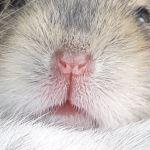 dwerghamster neus wildkleur