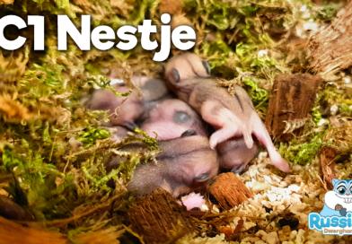 AC1 Campbelli Dwerghamster Nestje 02-09-2019