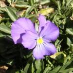 fiore-viola