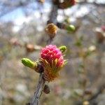 pino-in-primavera