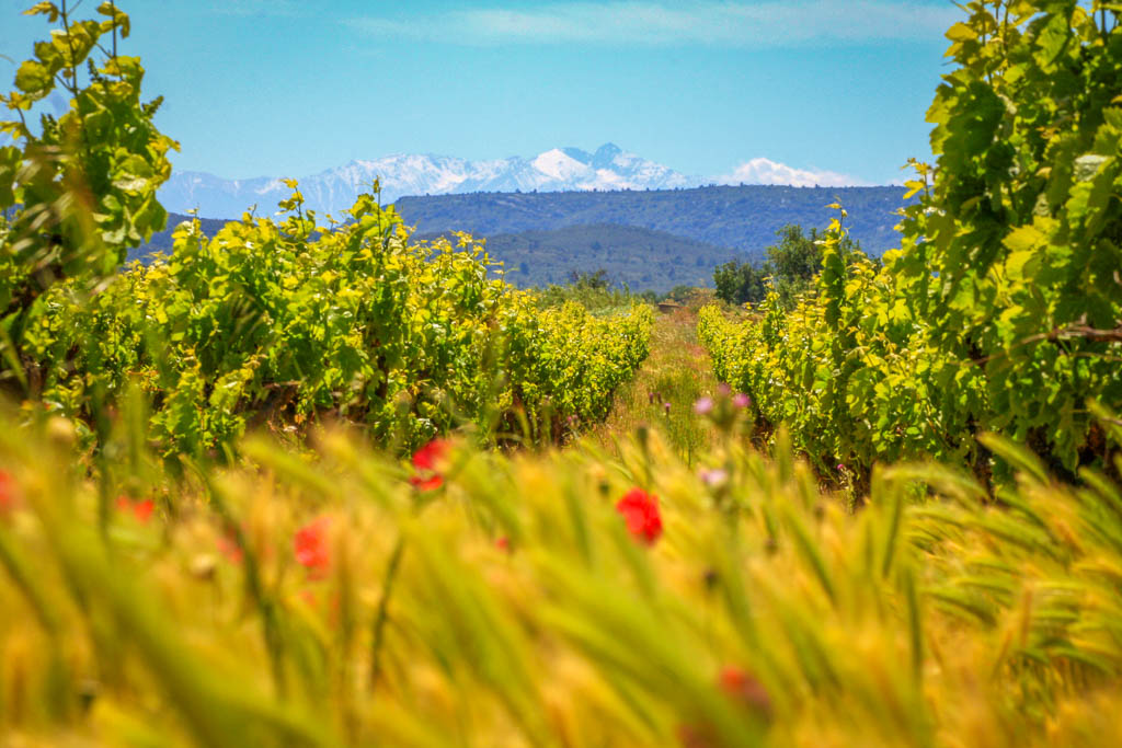 Occitanie, Paysage, South of france, Sud de France, Vigne