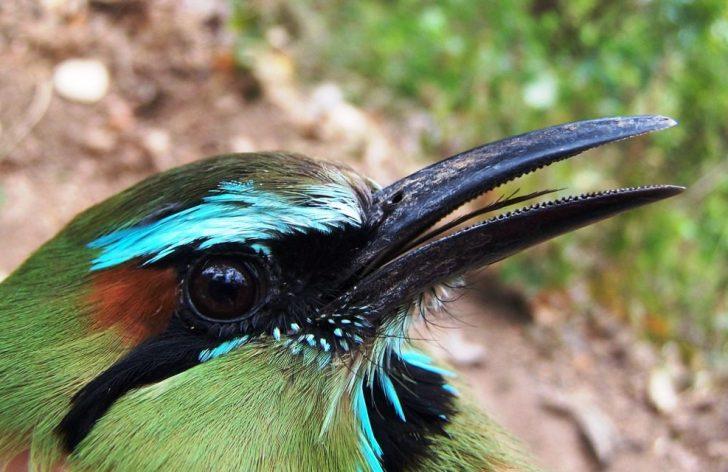guardabarranco ave nacional de nicaragua