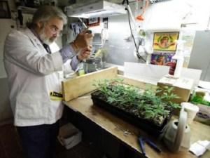 Científico en laboratorio analiza planta de marihuana