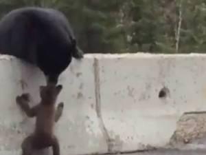 Foto grama del video de mamá osa rescatando a cachorro