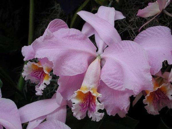 orquidea (6)