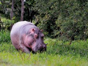 Colombia: Hipopotamos de Pablo Escobar aterrorizan Colombia