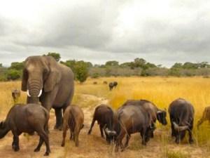 Elefante: Nzou una elefante que se siente búfalo