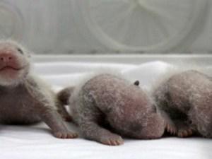 Trillizos panda recién nacidos