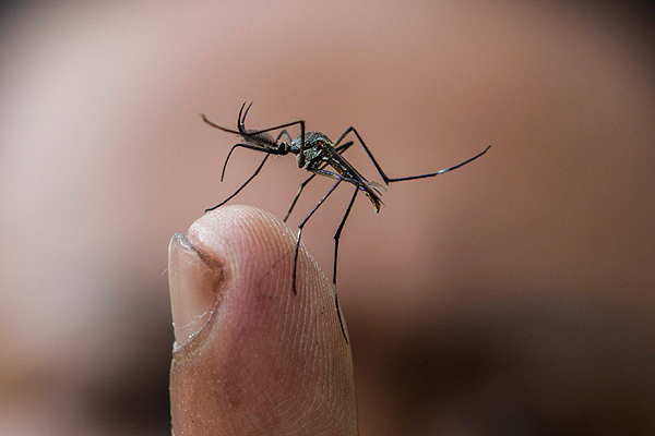 mosquito-efe_102631
