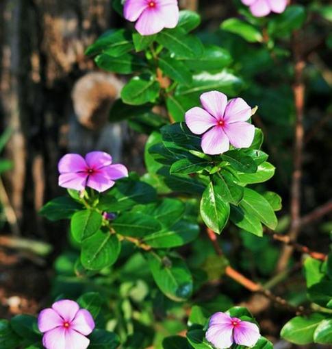 Sus semillas y sus hojas contienen un anticoagulante que mejora la circulación de la sangre al cerebro y promueve una mejor utilización del oxígeno