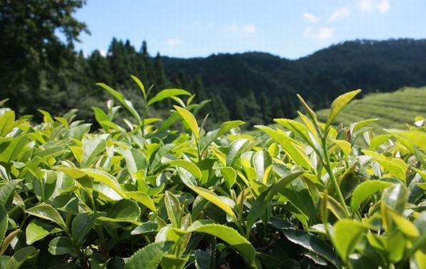 Extractos de té verde ayudan a proteger proteínas y lipidos    de las actividades asociadas a la edad causadas por la oxidación