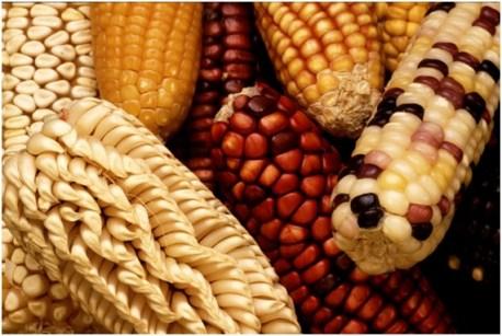 Maiz modificado1