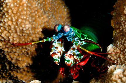 camaron mantis entre corales