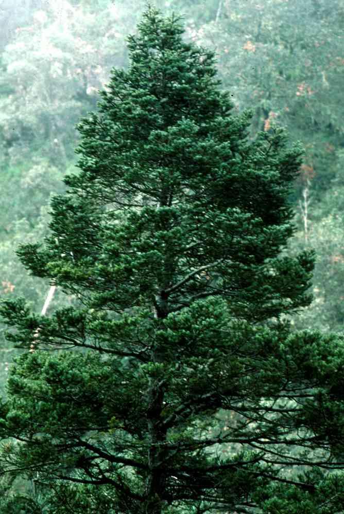 Alamos Trees Abies durangensis