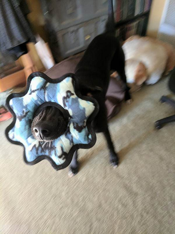 Black Great Dane puppy with just his nose visible from the blue camo toy he has stuck his face through and is chewing on.