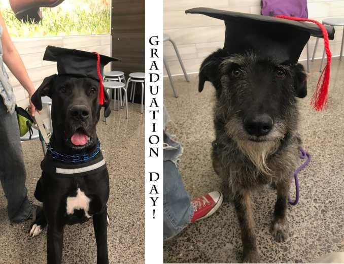 "On the left is a mostly black great dane, sitting happily, graduation cap on his head. In the middle is a line of vertical text that says ""Graduation Day!"" On the right side is an image of a dignified Irish Wolfhound, also with a graduation cap."