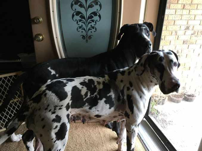 Two Great Danes standing in front of a sliding glass door, showcasing the majestic and attentive side of the breed, as they are both looking at the camera. One is mostly black, the other white with many black splotches. Both are glorious examples of dog.