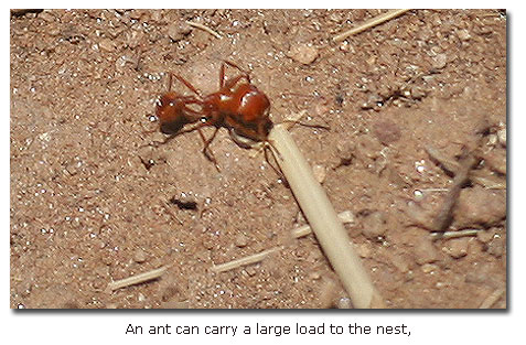 The Gray Field Ant Nests In Coastal Hills Of Southern California Including Owens Peak And Daley Ranch Its Range Extends South To Mexico North The