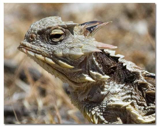 Horned Lizards Horny Toads  Genus Phrynosoma  DesertUSA