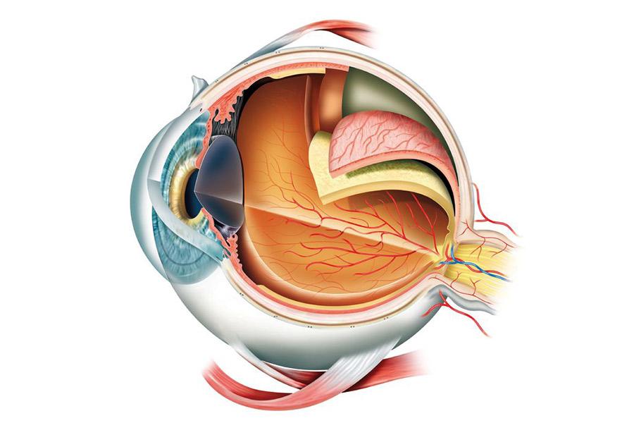 eye anatomy desert vision