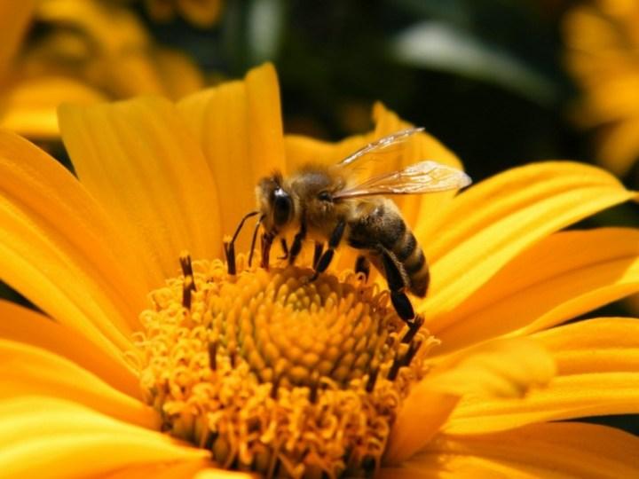 Une miellée