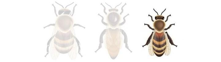 Les habitants de la ruche: l'abeille ouvrière