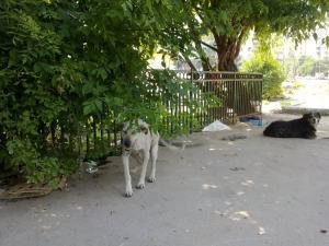 Fidel (juin 2011) - chiens communautaires