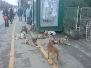 Des chiens errants de Bucarest