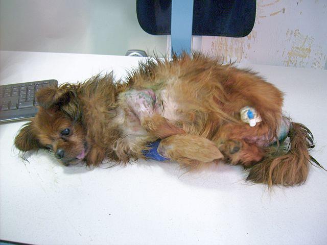 Piky après son opération