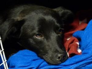 Baghera - chiens adoptés en 2013