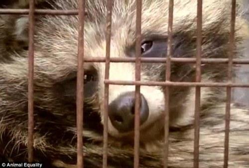 Chien viverrin élevé en cage pour sa fourrure (Chine, 2015)