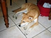 Corie - chiens adoptés en 2011