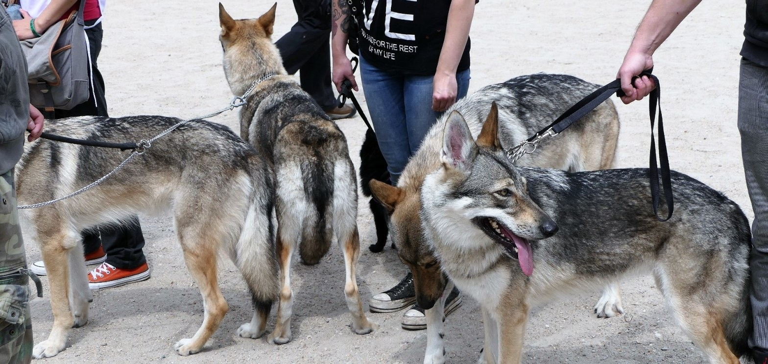 La Voix des Loups 2017_Chiens-loups tchèques