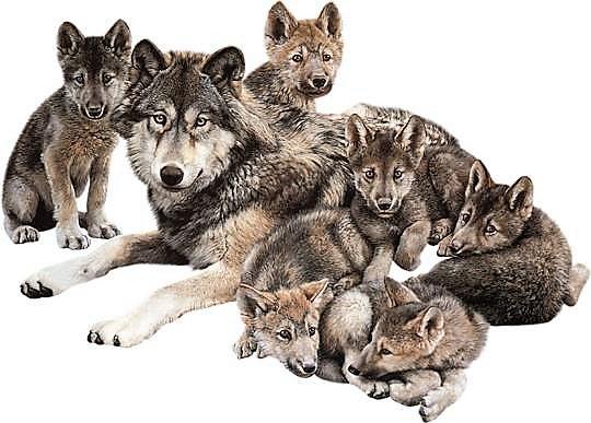 Loup imposture