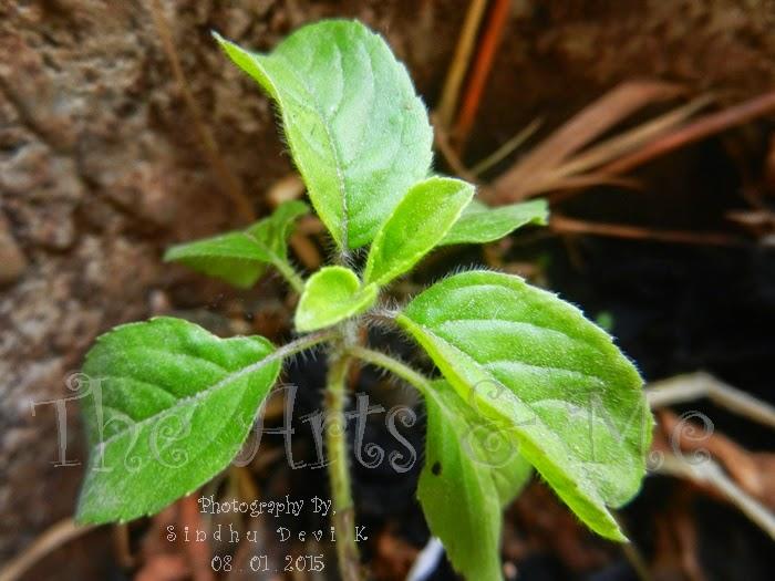 Holy basil or Tulsi or Ocimum tenuiflorum