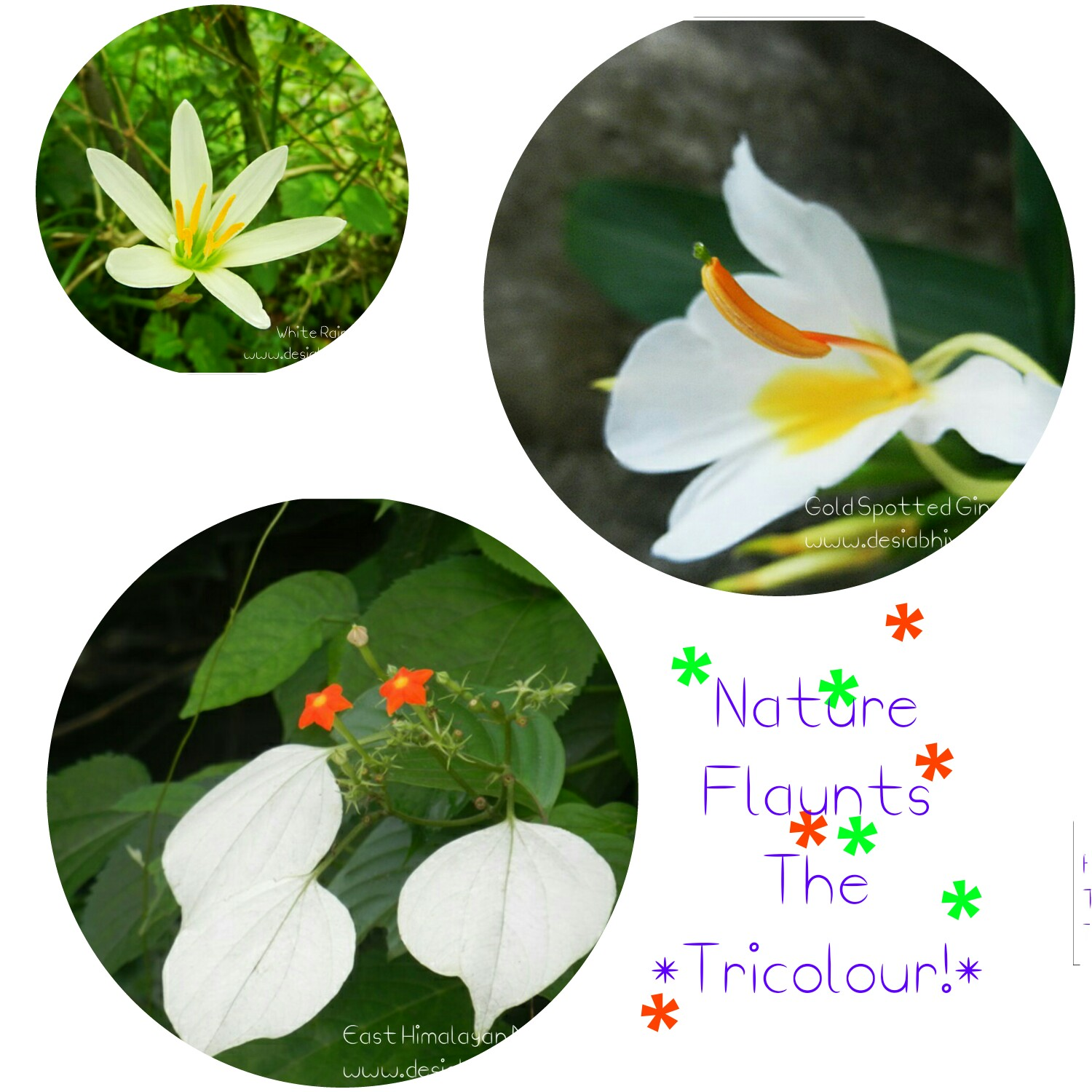 Nature Flaunts The Tricolour - East Himalayan Mussaenda, Gold Spot Ginger Lily and White Rain Lily