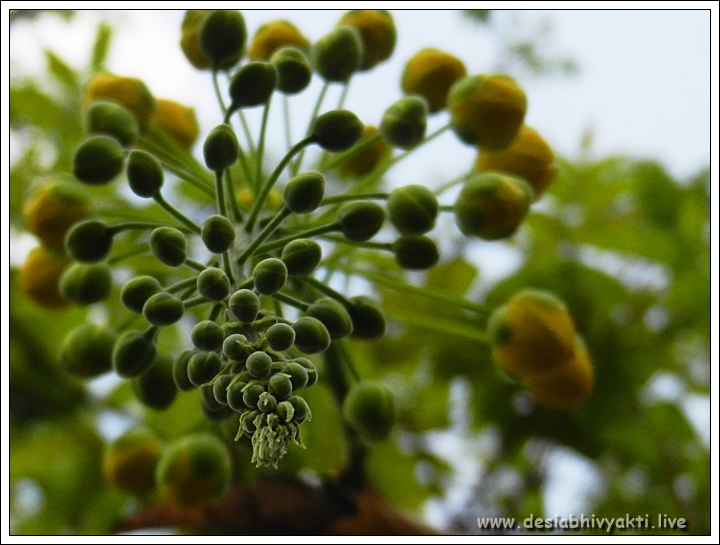 Cassia Fistula Blooms in Making