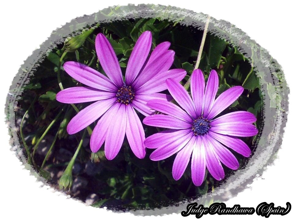 Love Quotes With Wallpapers In Hindi Purple Daisy Flowers Desicomments Com