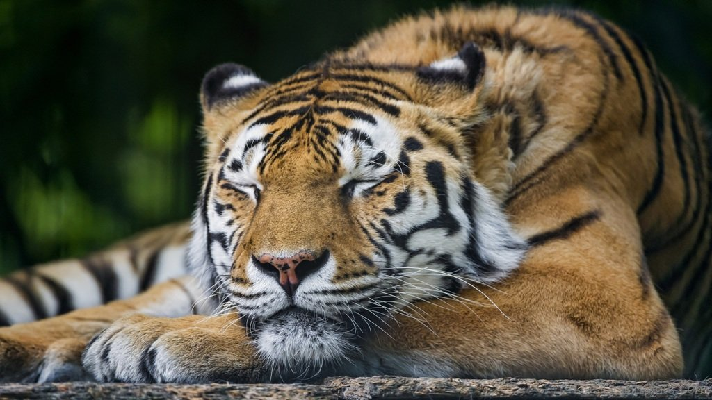 Deep Wallpaper Quotes Sleeping Tiger Desicomments Com