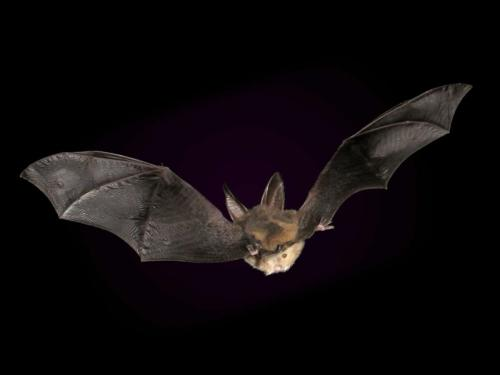 Virginia Big-Eared Bats extend or contract their ears as they fly.