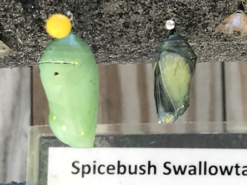 Chrysalises at the Karen Wertheimer Butterfly Enclosure, Coastal Discovery Museum at Honey Horn