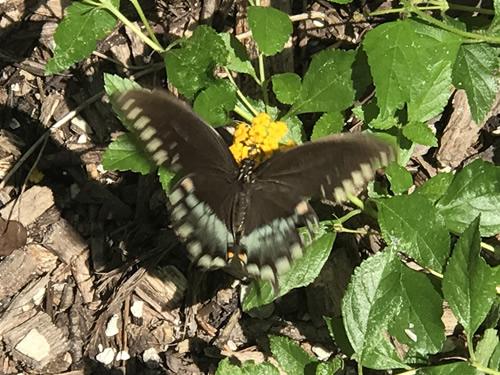 Spice Bush Swallowtail Butterfly