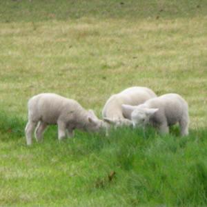 New Lambs