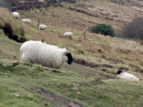 Sheep on Unnamed Road that parallels R668 near Lismore on the Knockmealdown Mountains