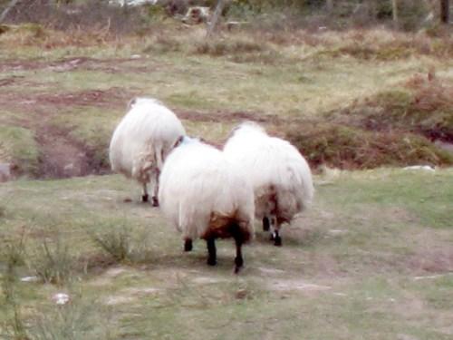 Fleeing Sheep Run Sheep Run! Knockmealdown Mountains, Ireland