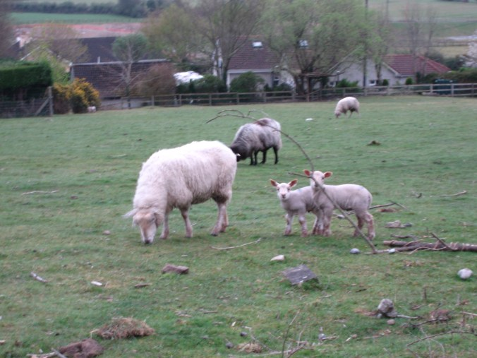 Sheep and Lambs near Hollymount House, Cahir, County Tipperary