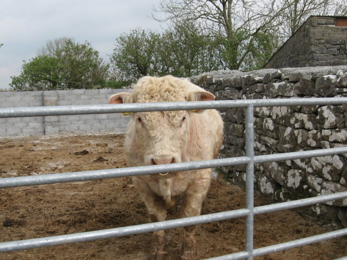 Bull, farm near Ardrahan, County Galway See the old wall joined to the new cement block?
