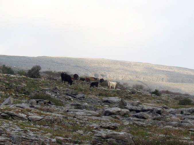 Cows Grazing on the Burren, Co. Clare, Ireland