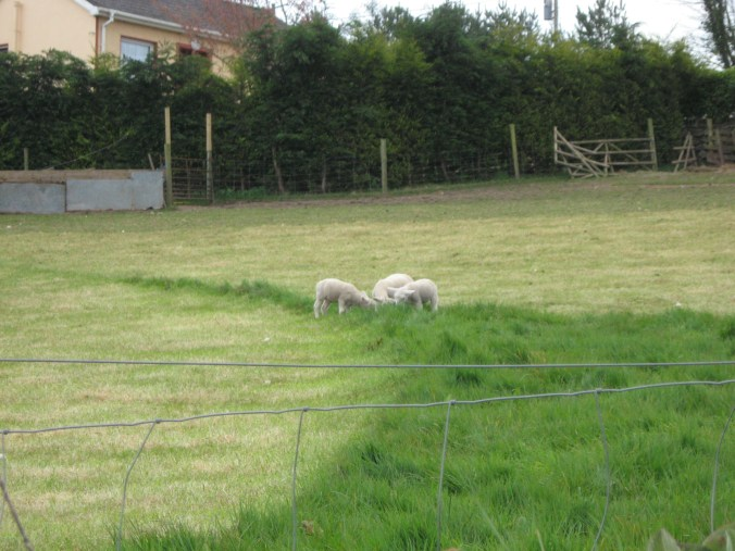 More fluffy lambs